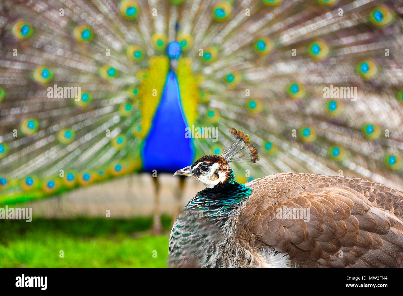Indian blue peahen provoking a magnificent exhibition from a male in the background - Stock Image