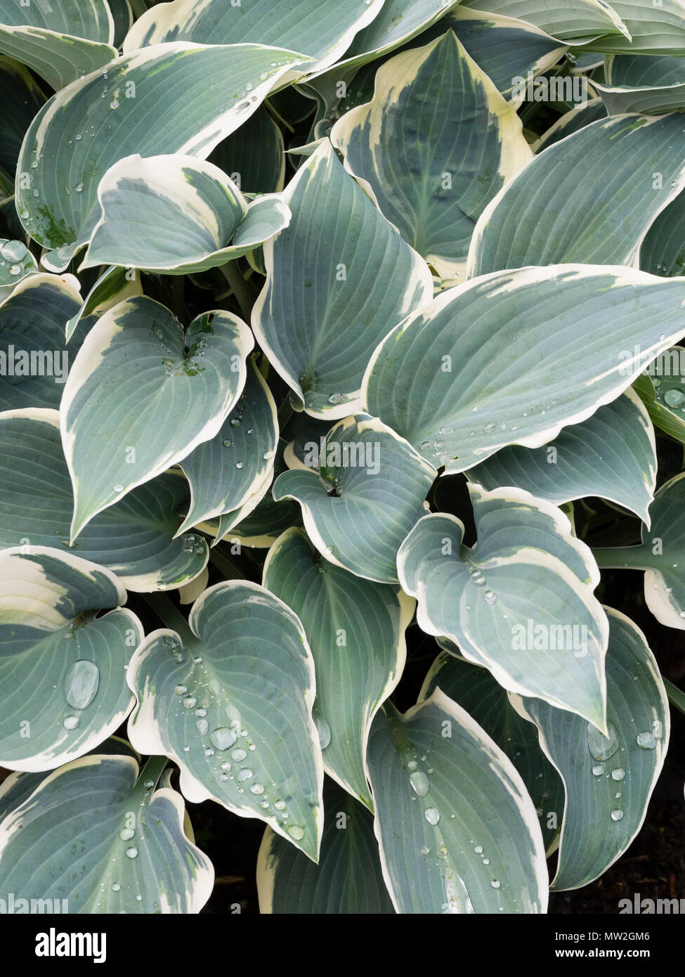 White edged blusih foliage of the variegated plantain lily, Hosta 'El Nino' - Stock Image