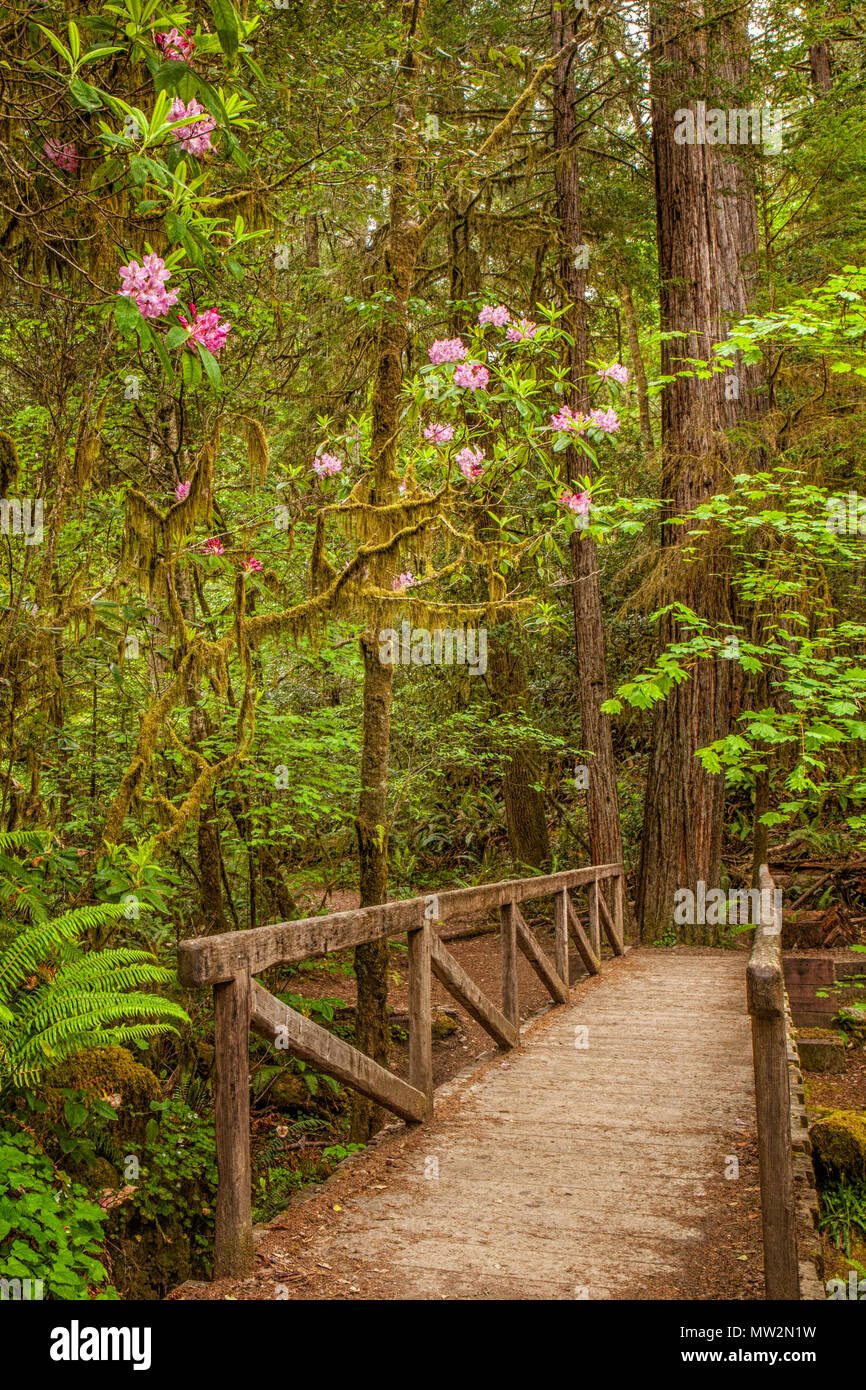 Wooden bridge along a trail in the Stout Grove in California's Jedediah Smith Redwoods State Park.  Rhododendrons can be seen blooming - Stock Image
