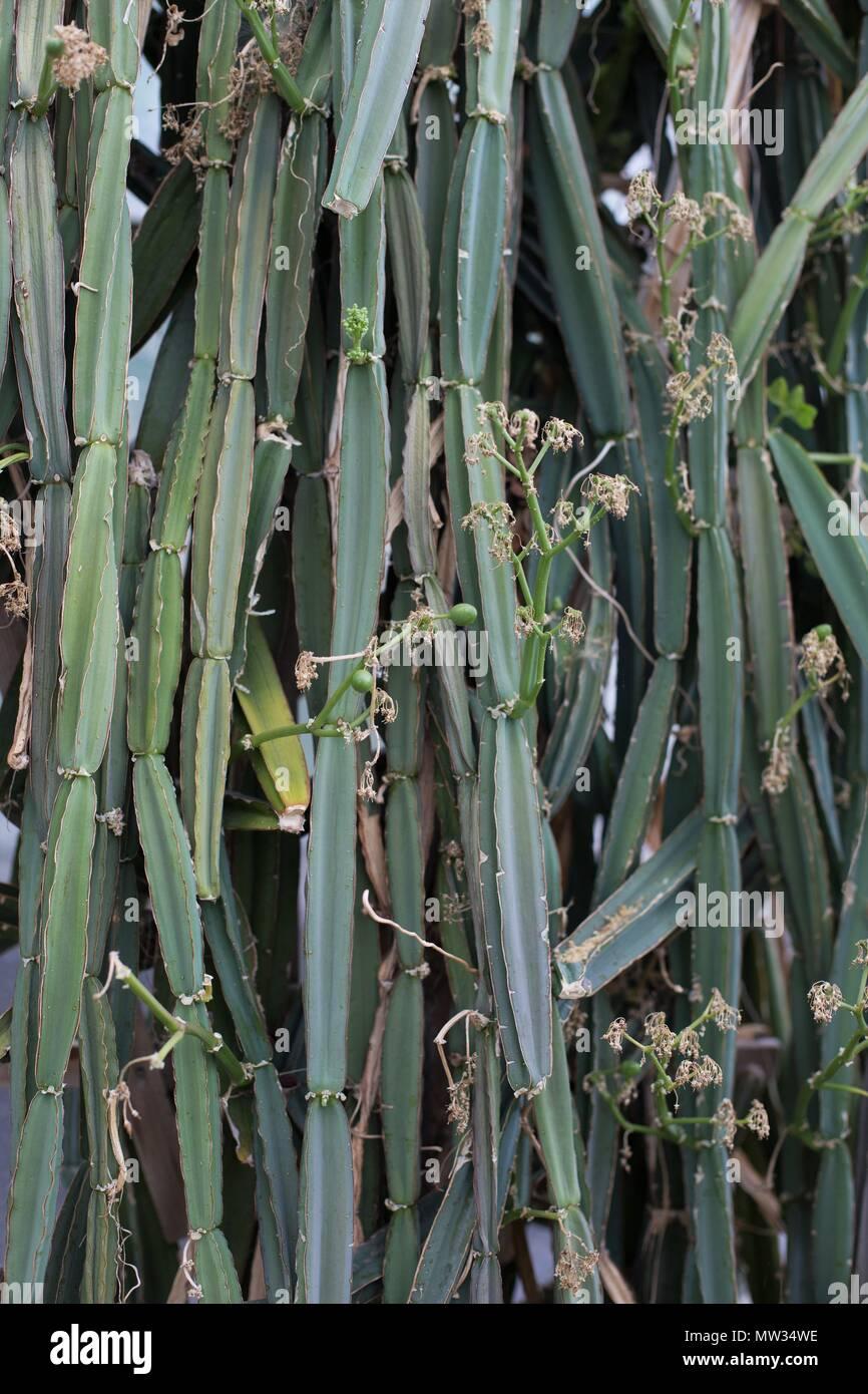 Veldt Grape Cissus Quadrangularis: A Cissus Quadrangularis Plant, Also Known As Veld Grape
