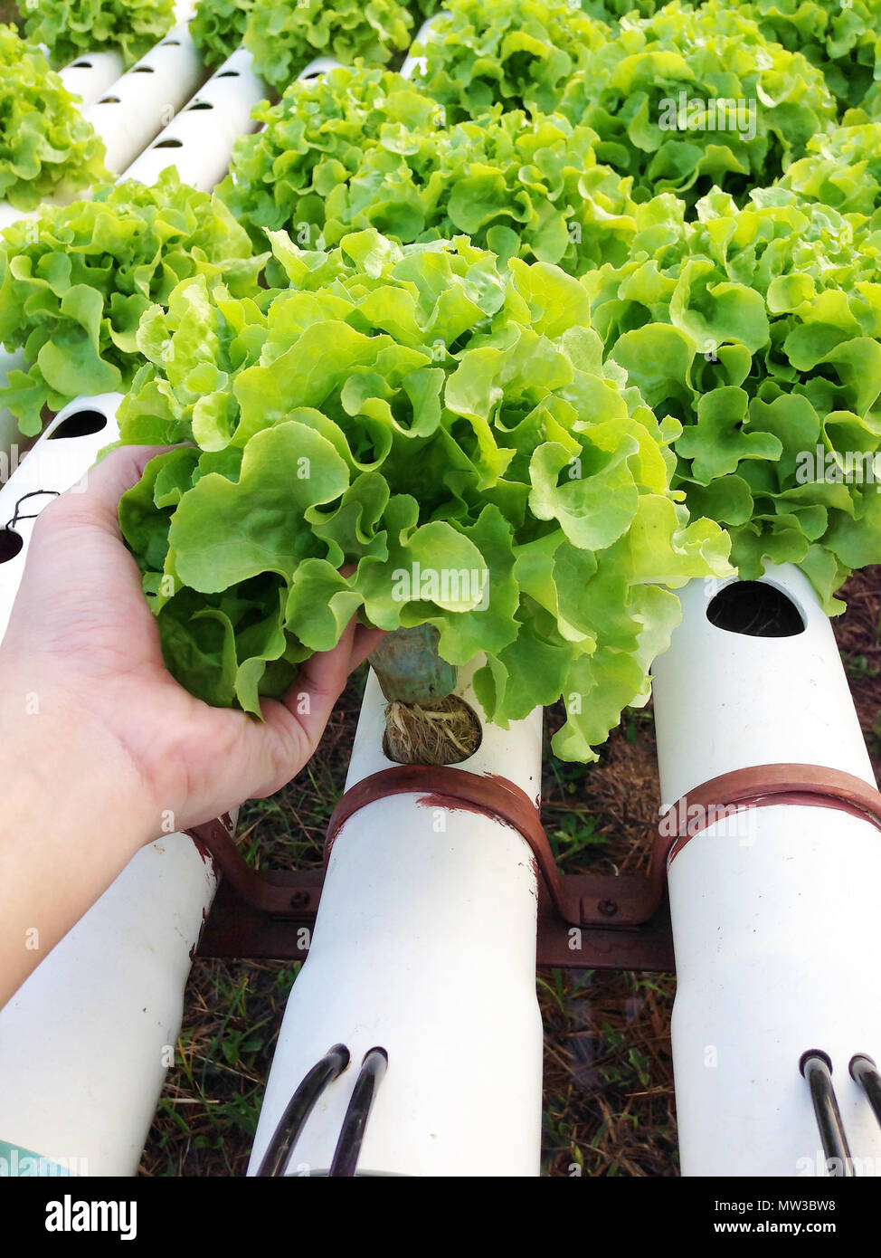 Harvest organic hydroponic vegetable cultivation farm Stock Photo