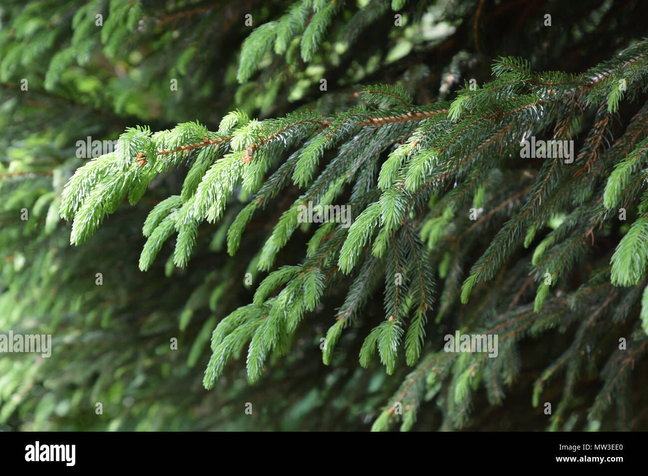 new sprouts of fir in early spring Stock Photo