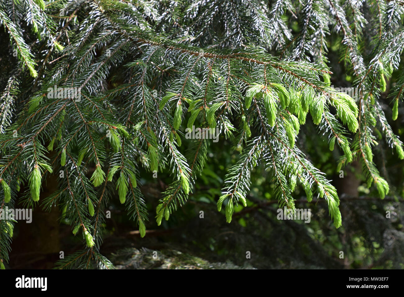 fresh bright green new young sprouts of spruce tree in spring Stock Photo
