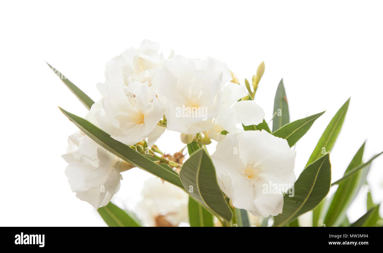 White oleander flowers stock photos white oleander flowers stock white oleander flowers isolated on white background stock image mightylinksfo