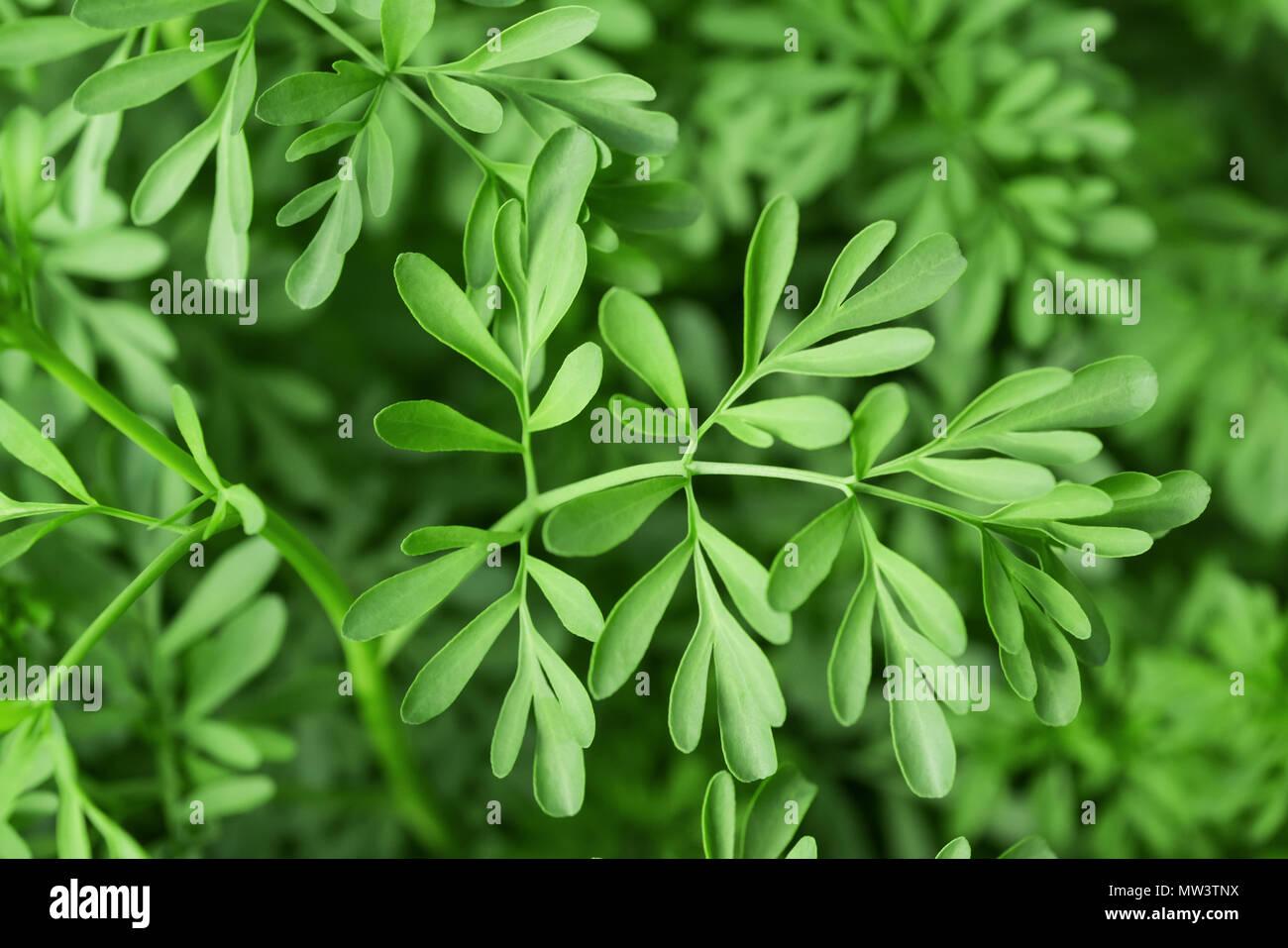 Green Herb of Grace (Ruta graveolens) plant - Stock Image