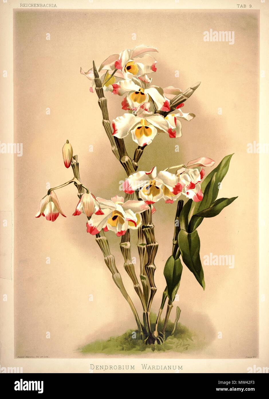 Dendrobium wardianum between 1888 and 1894 h sotheran co h sotheran co london editor 219 frederick sander reichenbachia i plate 09 1888 dendrobium wardianum izmirmasajfo