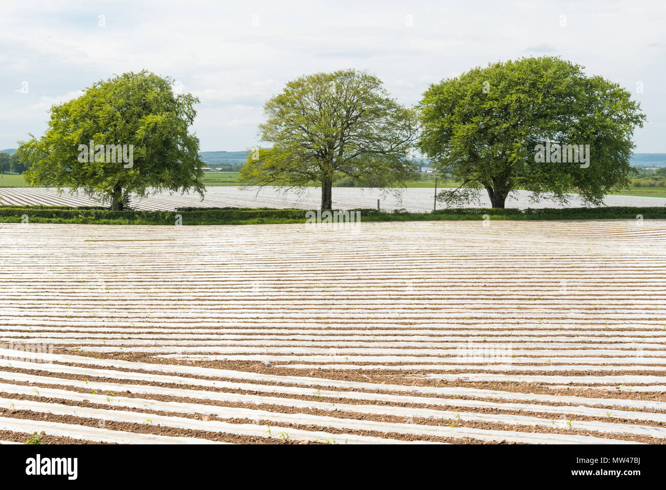 fields covered in rows of plastic mulch - uk Stock Photo