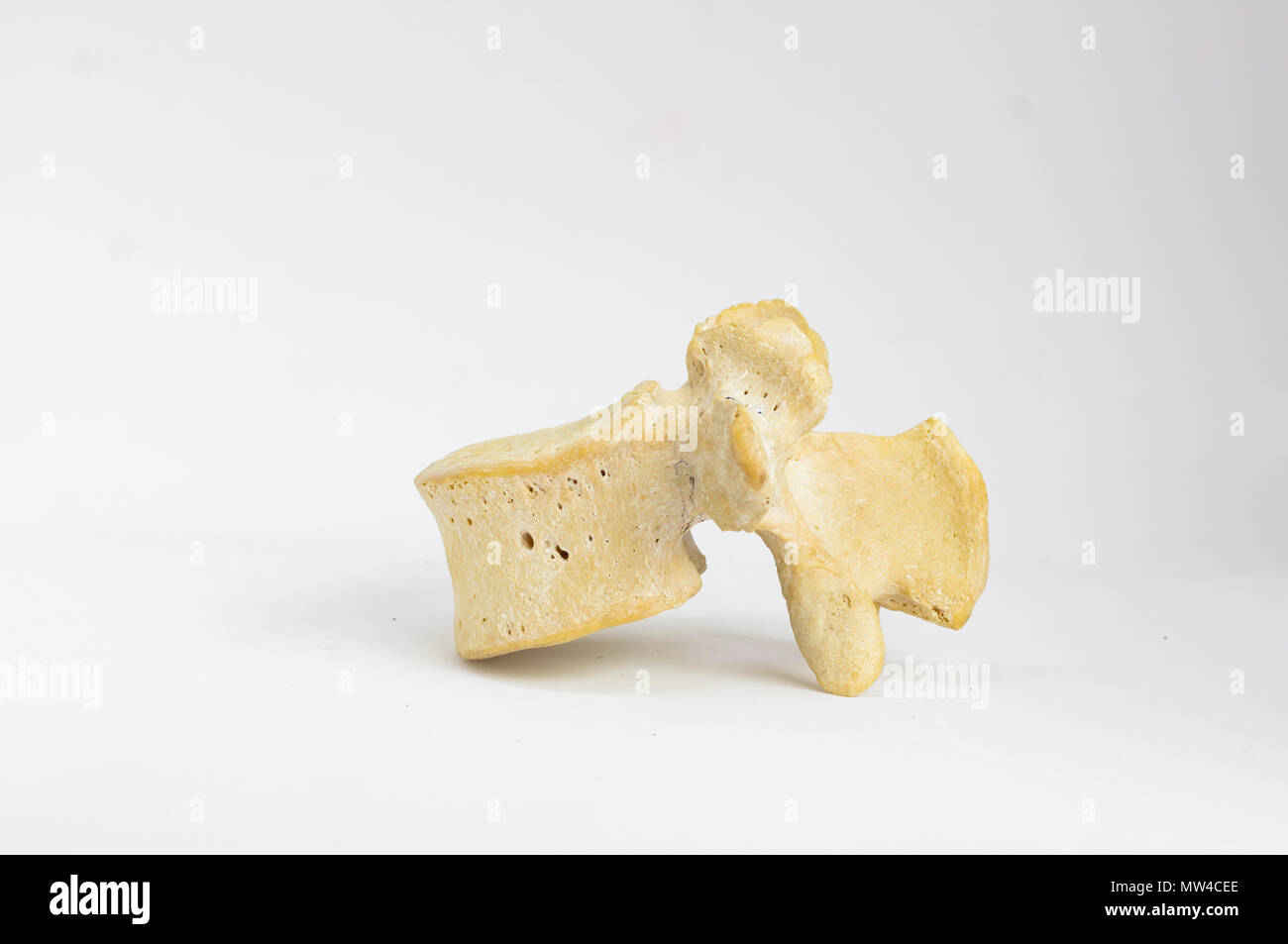 side view of isolated human lumbar vertebra in white background with space for text - Stock Image