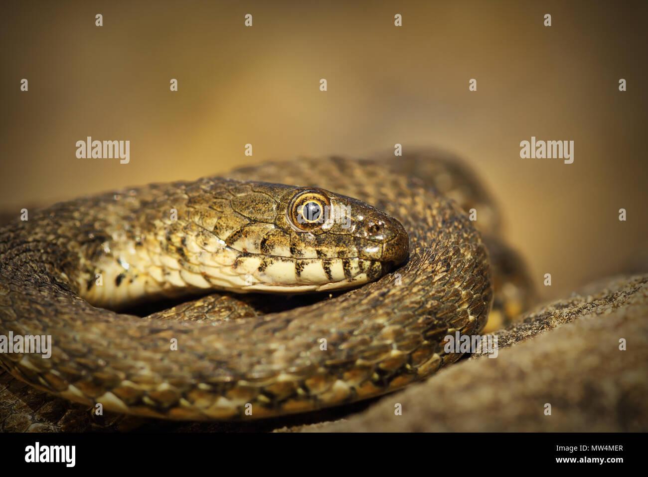 close up of dice snake ( Natrix tessellata ) - Stock Image