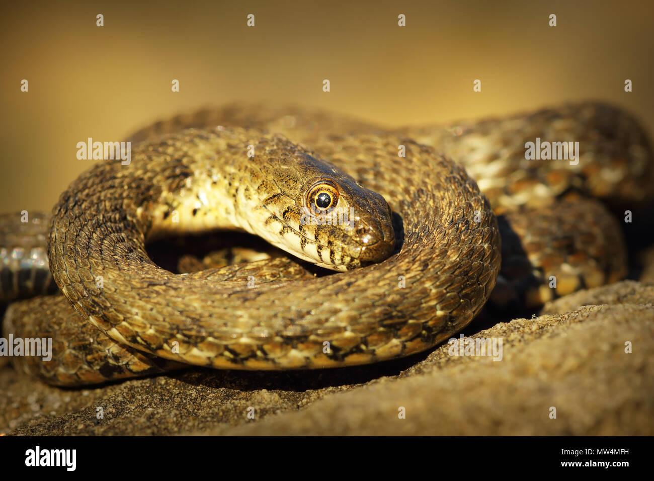 dice snake showing thanatosis on a rock ( Natrix tessellata ) - Stock Image