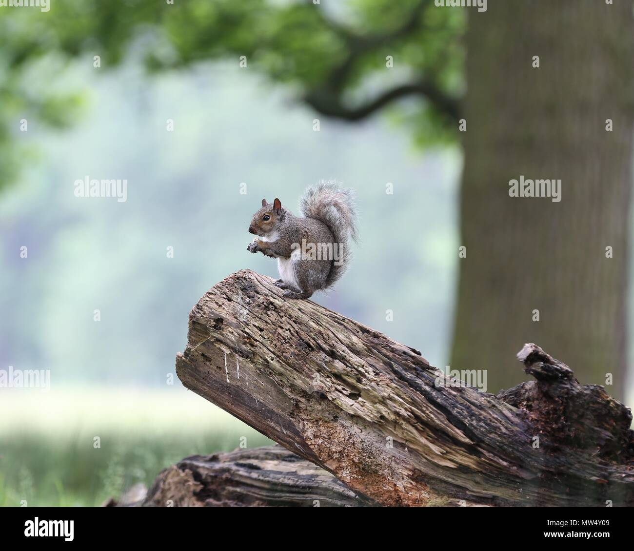 Grey Squirrels Stock Photos & Grey Squirrels Stock Images - Alamy