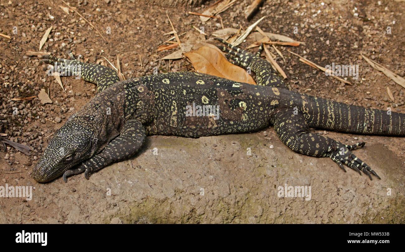 Crocodile Monitor Lizard (varanus salvadorii Stock Photo