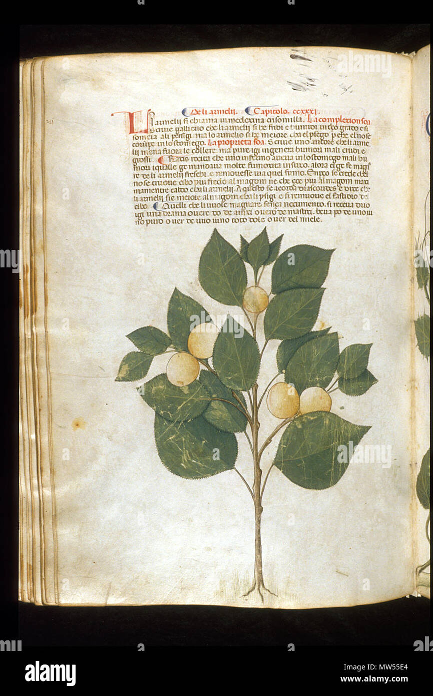 . English: arapion the Younger, Translation of the herbal (The 'Carrara Herbal'), including the Liber agrega, Herbolario volgare; De medicamentis, with index (ff. 263-265) Italy, N. (Padua); between c. 1390 and 1404 . between c. 1390 and 1404. An Italian translation, possibly from a Latin translation, of a treatise orginally written in Arabic by Serapion the Younger (Ibn Sarabi, likely 12th century). 115 Carrara Herbal22 - Stock Image