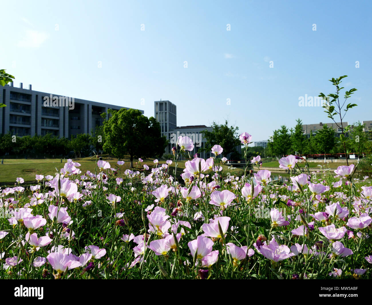 Pink flower bed with church in background in Anting New Town - Stock Image