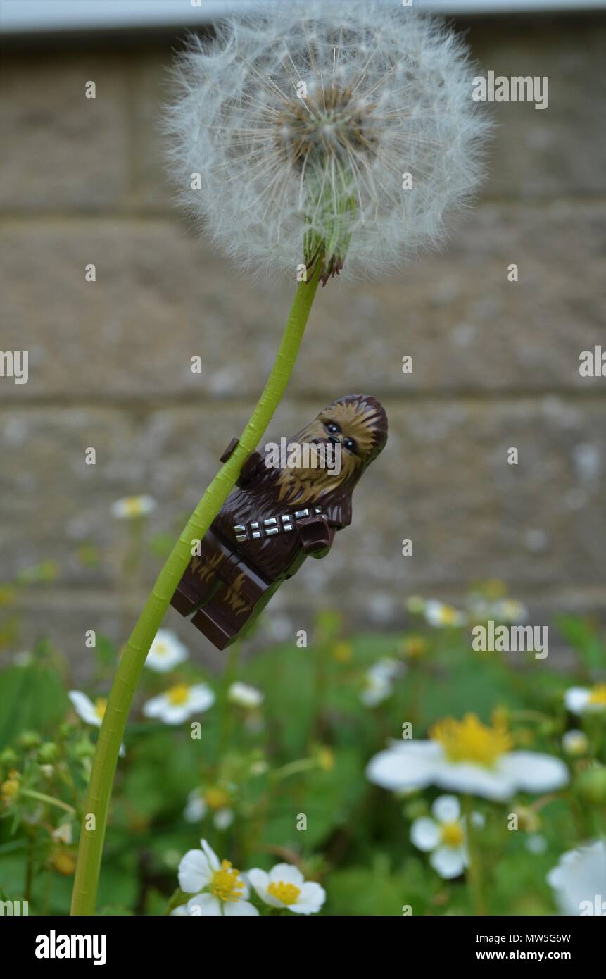 A Chewbacca chilling on a dandelion watching the world go by. - Stock Image