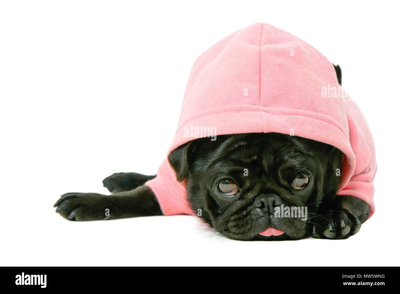 Pretty cute small black female Pug puppy dog in pink pet hoodie clothing sticking out tongue isolated on white background - Stock Image