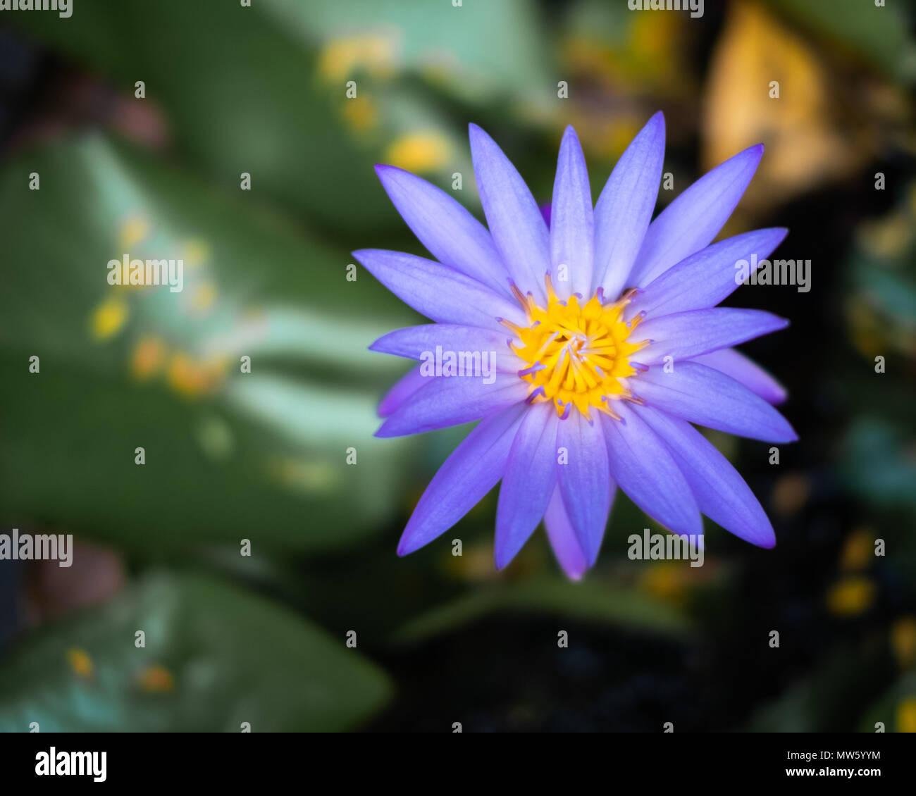 A thai lotus nelumbo flower stock photo 187601784 alamy a thai lotus nelumbo flower izmirmasajfo