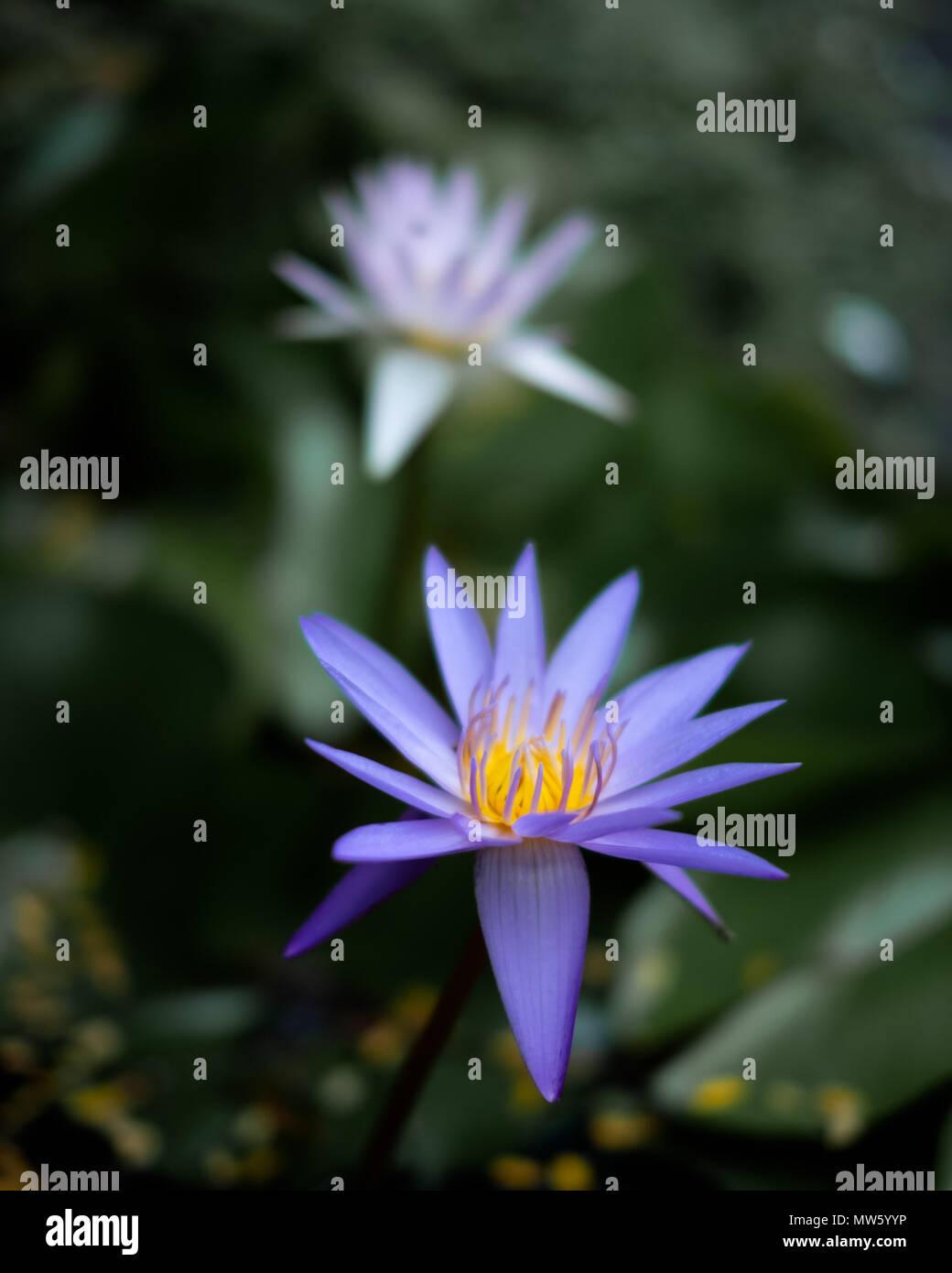 Two thai lotus flowers nelumbo stock photo 187601786 alamy two thai lotus flowers nelumbo izmirmasajfo