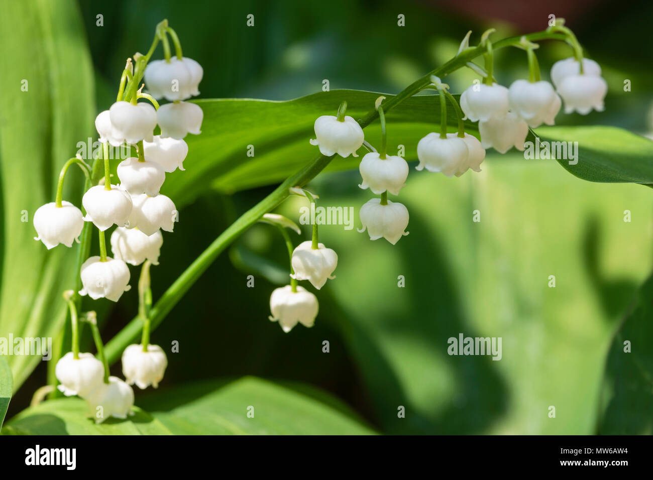 The alluring bell shaped flowers of Lily of the valley - Stock Image