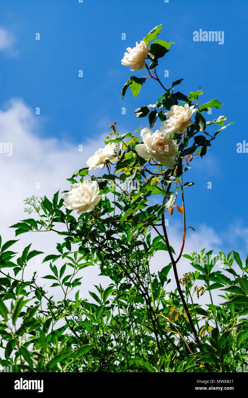 The simple white rose reaching upwards - Stock Image