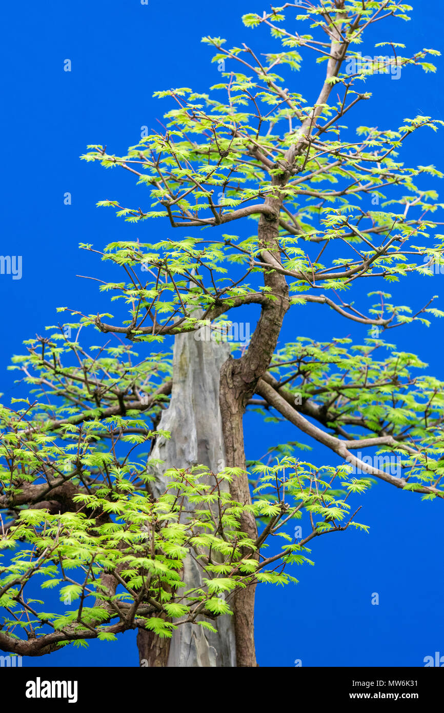 Metasequoia glyptostroboides. Dawn redwood bonsai tree against a blue background on display at a flower show. UK - Stock Image