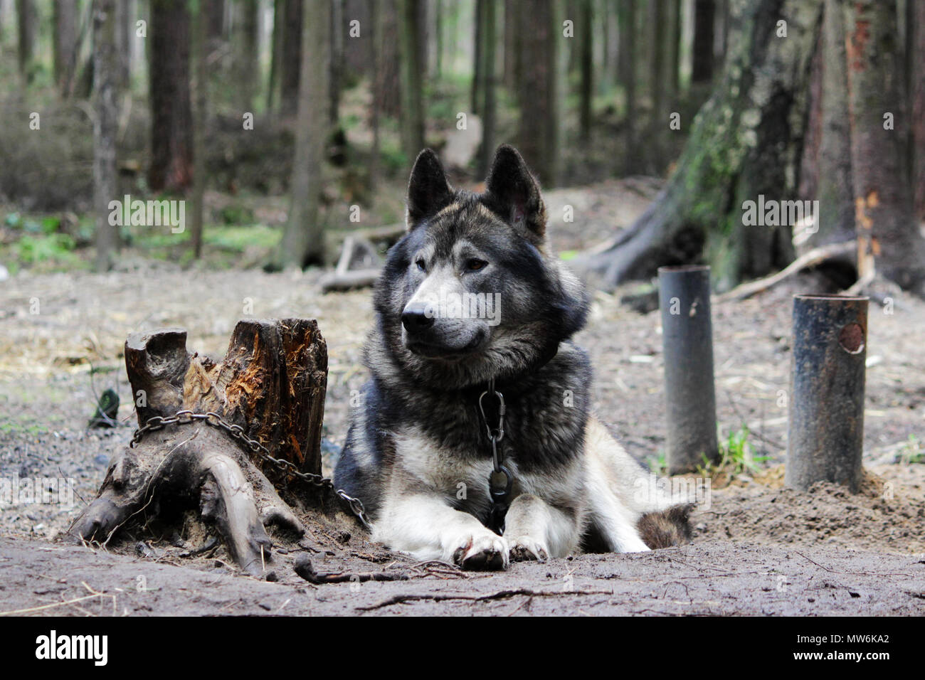 cross between an wolf Canis lupus tundrarum and an Alaska