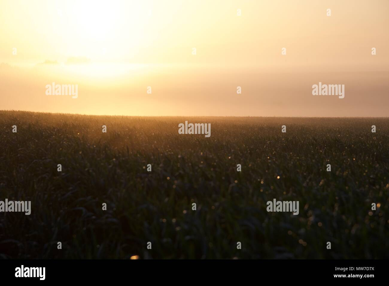 Mist: the rising sun starts to burn off the early morning mist over a field of growing wheat - Stock Image