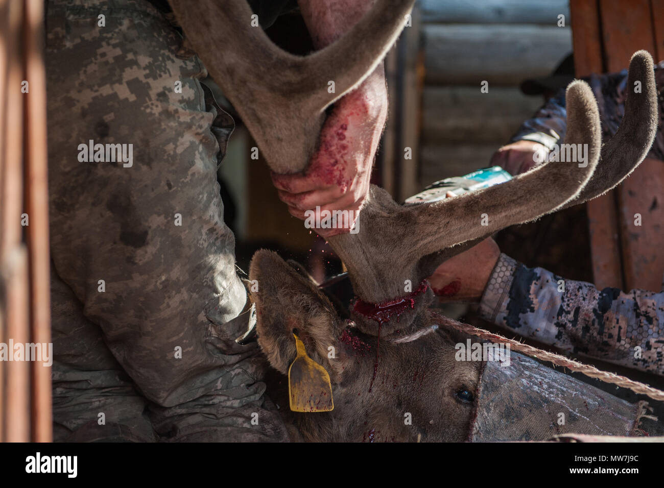 Cutting antlers of Altaic stag maral - Stock Image