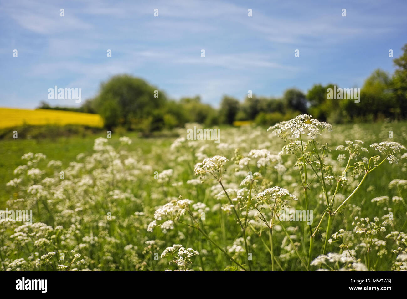Wild cow parsley flowering plant - Stock Image