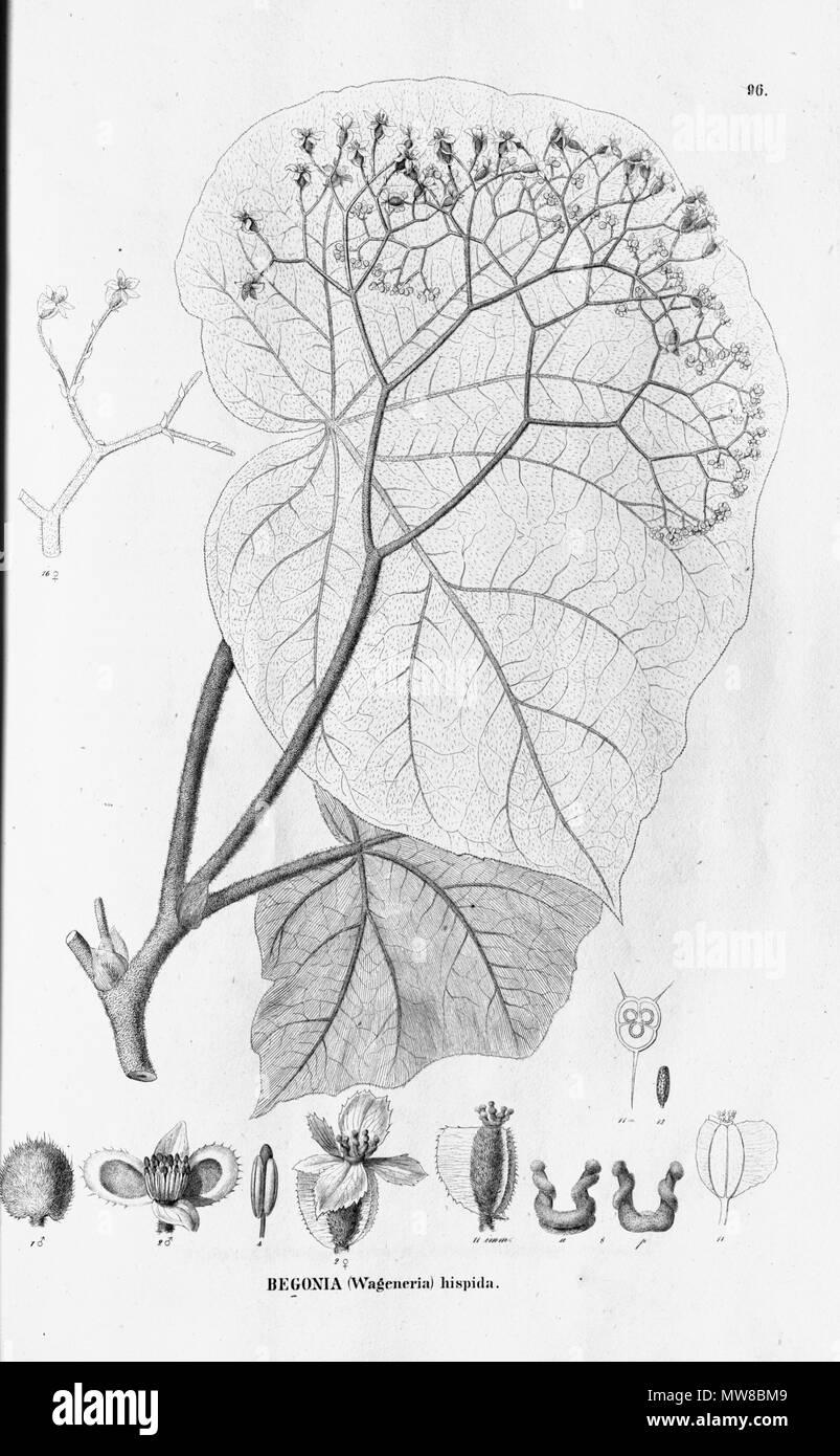 . English: Begonia hispida . 27 October 2011. C.F.P.von Martius & auct. suc. (eds.) 78 Begonia hispida Stock Photo