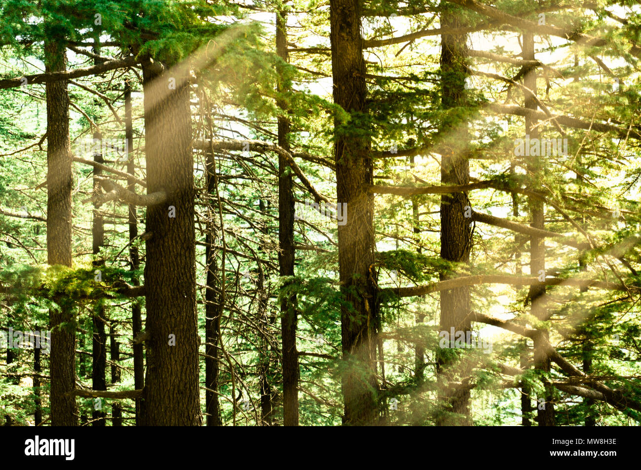Dense pine trees with the golden morning sunset falling on the green leaves and trunks. Shot in shimla treks like this are a favorite for tourists - Stock Image