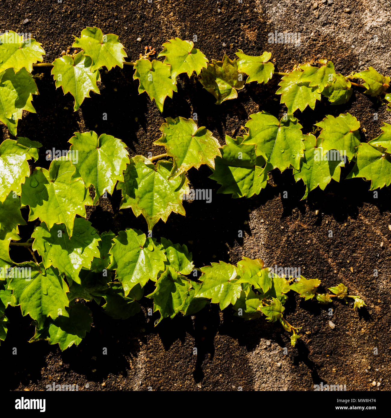 Green Juicy Grape Leaves With Drops On The Stone Wall Natural Summer Background Template