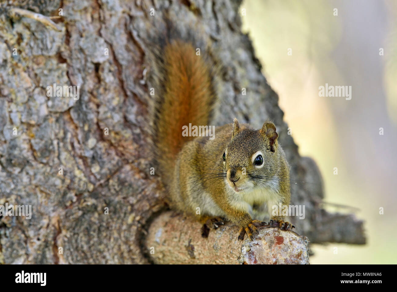 """A wild red squirrel """"Tamiasciurus hudsonicus""""; perched on branch of a spruce tree in rural Alberta Canada Stock Photo"""