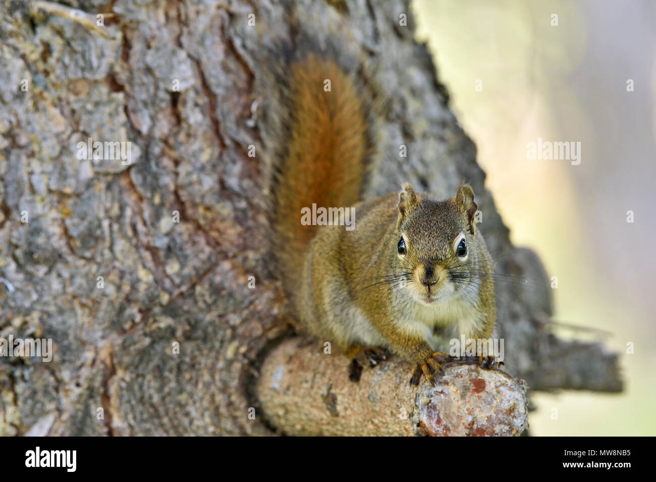A red squirrel 'Tamiasciurus hudsonicus'; perched on branch of a spruce tree in rural Alberta Canada - Stock Image