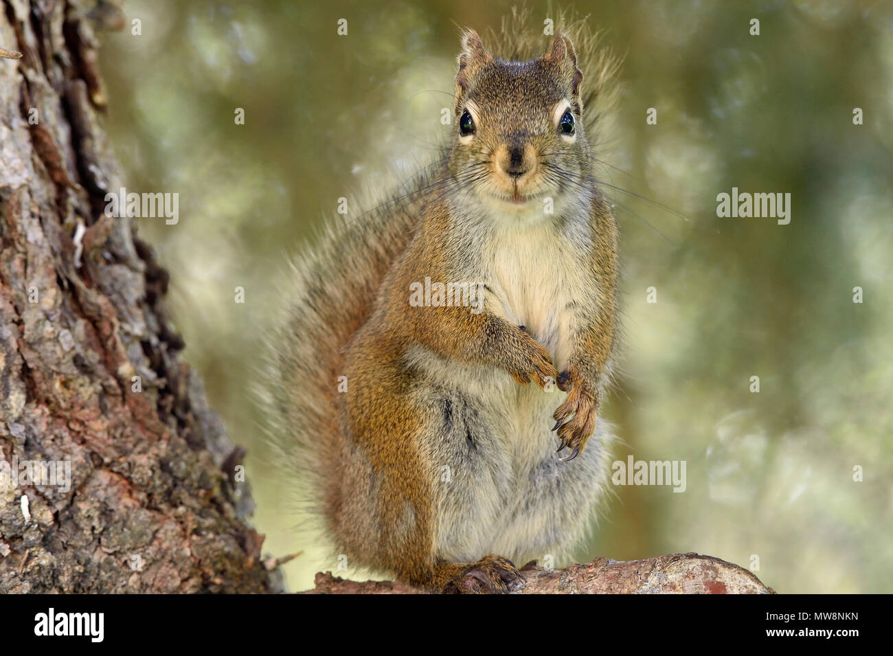 A wild red squirrel 'Tamiasciurus hudsonicus'; sitting upright on branch of a spruce tree in rural Alberta Canada - Stock Image
