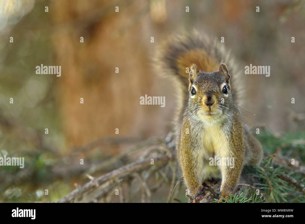 A front view of a wild red squirrel 'Tamiasciurus hudsonicus'; standing upright on branch of a spruce tree in rural Alberta Canada - Stock Image
