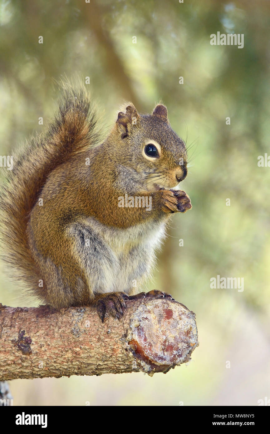 A vertical image of a wild Red Squirrel Tamiasciurus hudsonicus;, using his front paws to hold something that he is eating. - Stock Image