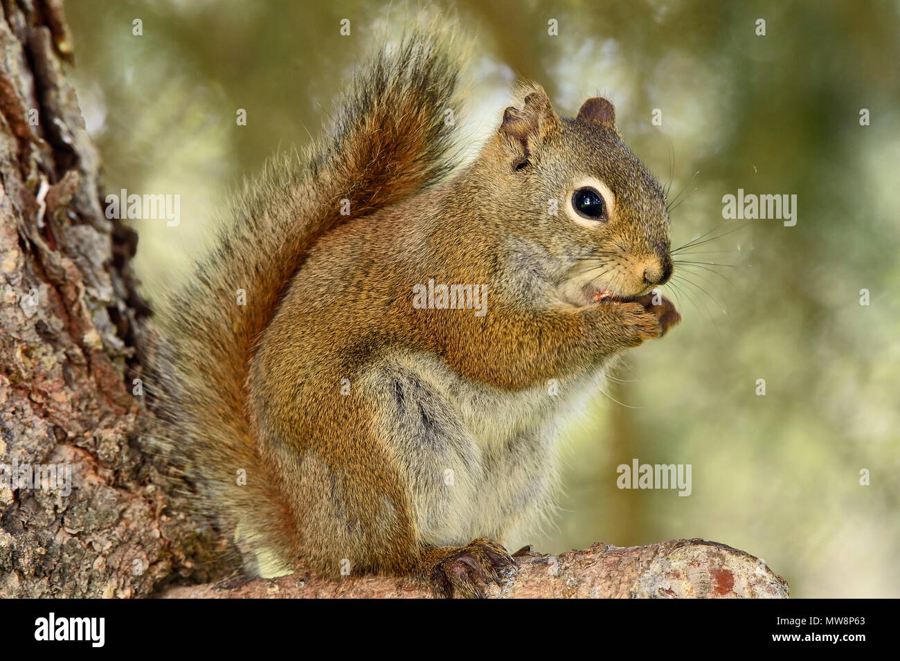 A wild red squirrel 'Tamiasciurus hudsonicus'; sitting on branch of a spruce tree using his front paws to hold something that he is eating  in rural A - Stock Image
