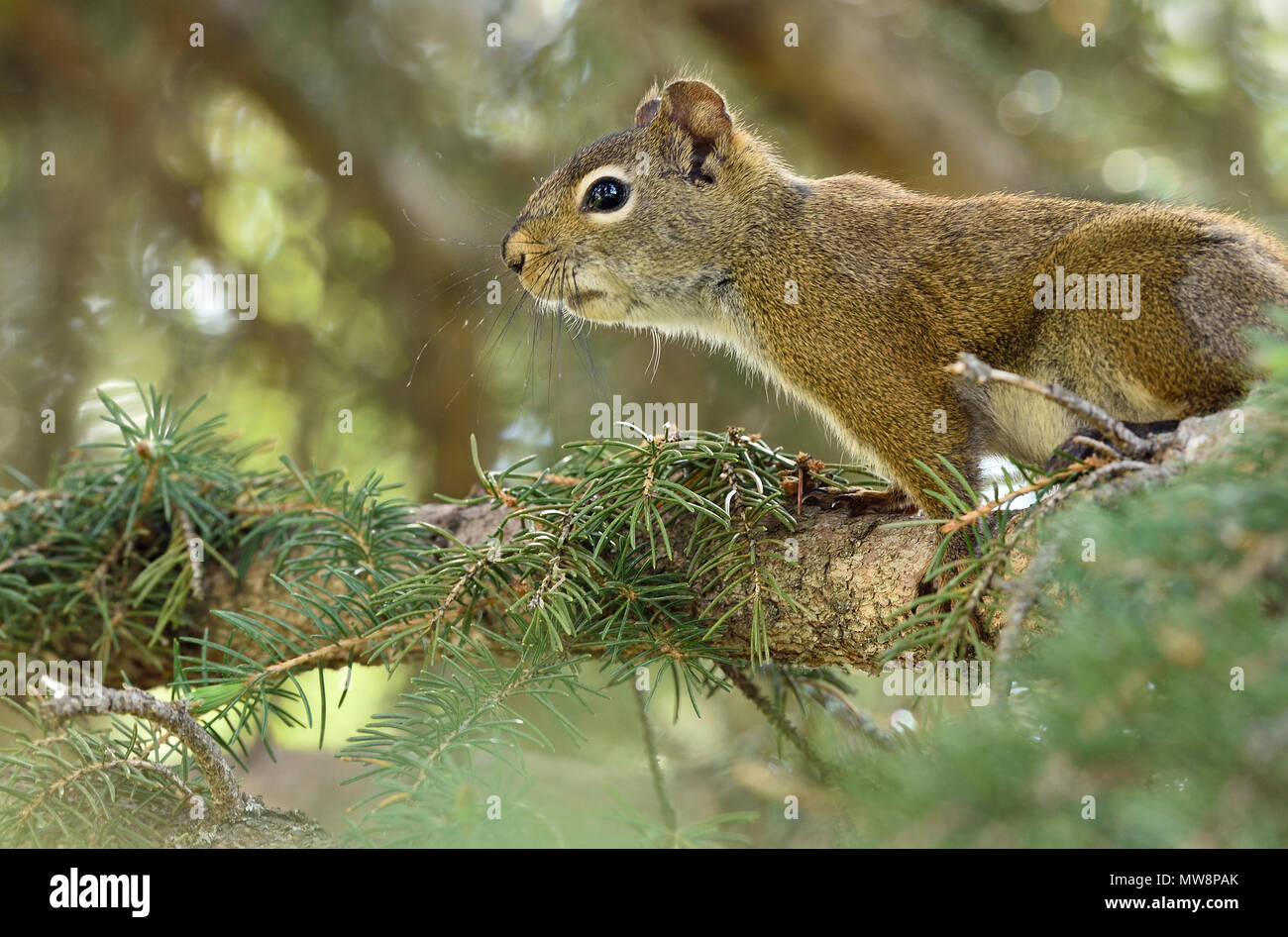 A horizontal side view image of a red squirrel on a tree branch - Stock Image