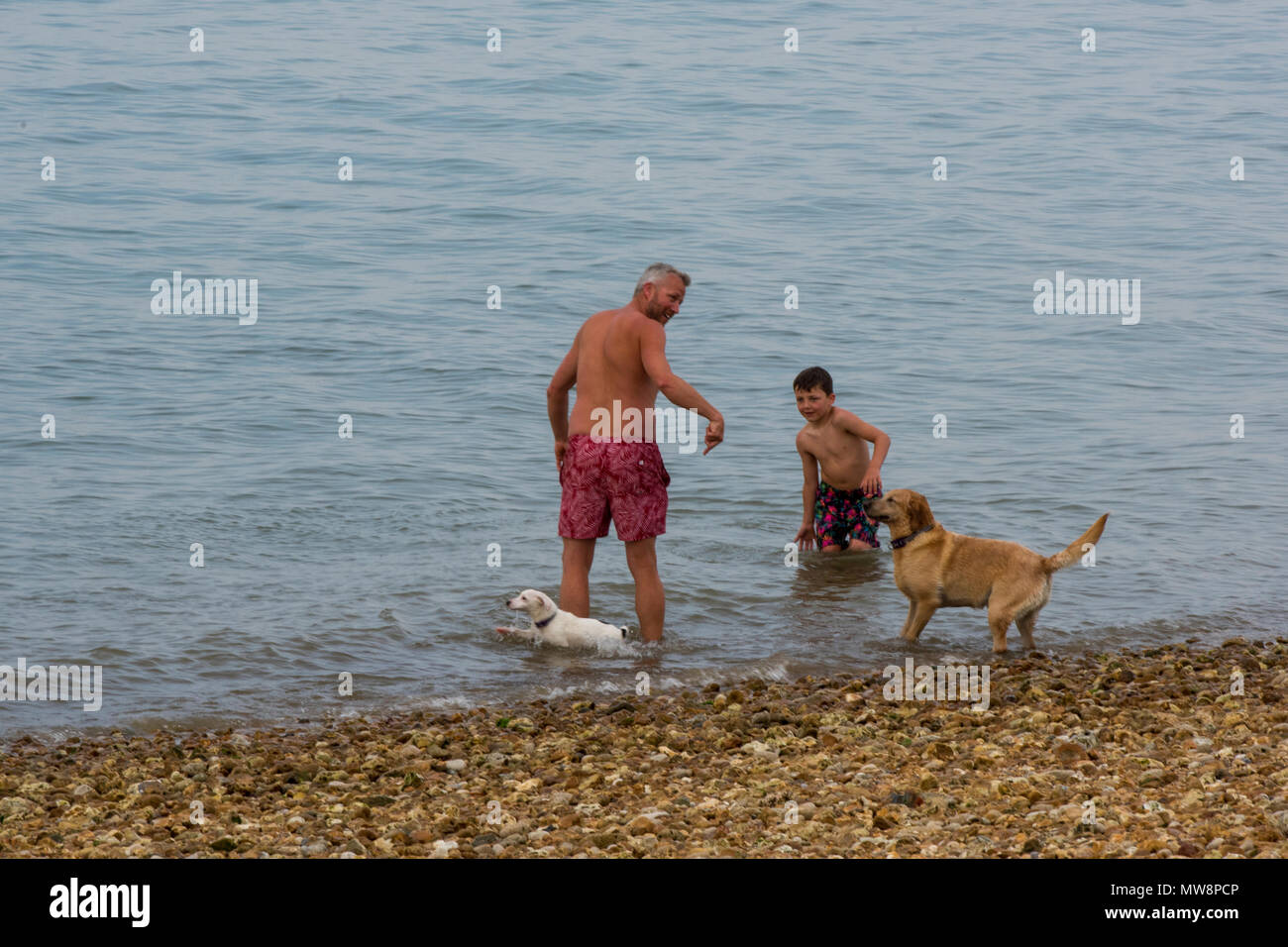 a father and son playing with two dogs or their pets at the seaside on a pebble beach at cowes on the isle of wight. family fun with pets at seaside. - Stock Image