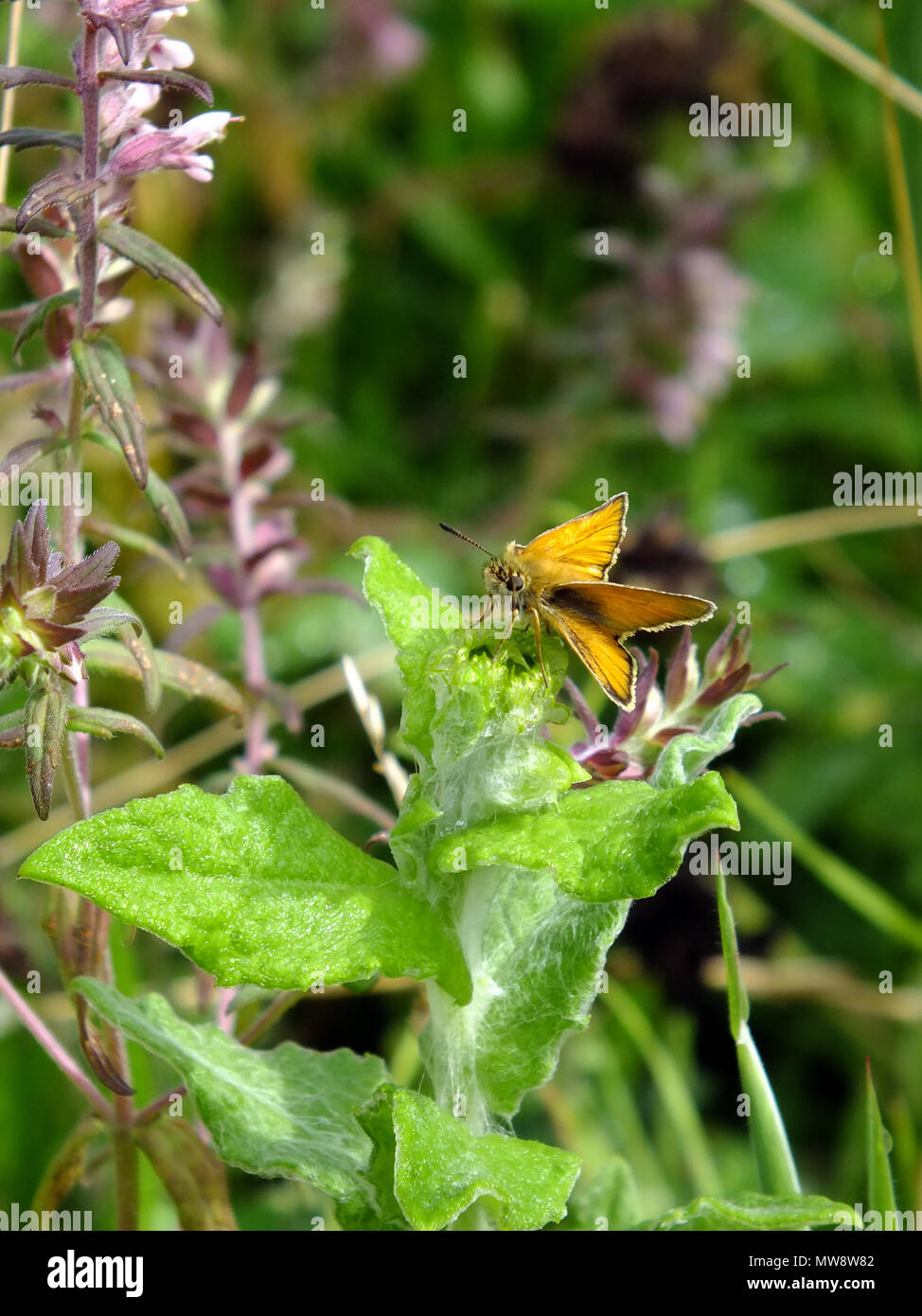 Large Skipper Feeding on Nectar from Wildflowers - Stock Image