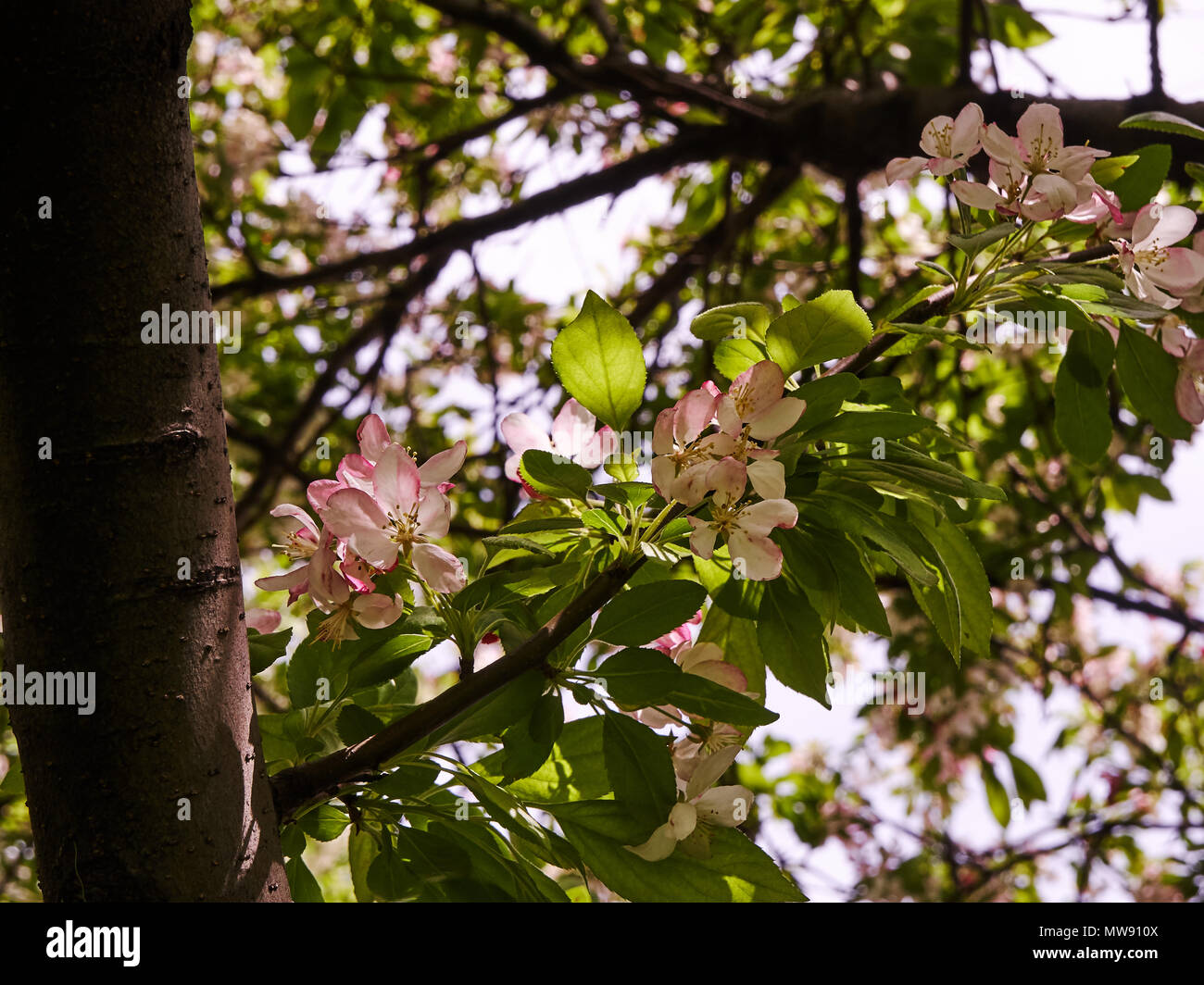 Looking Up At A Tree With Pink And White Flowers Stock Photo