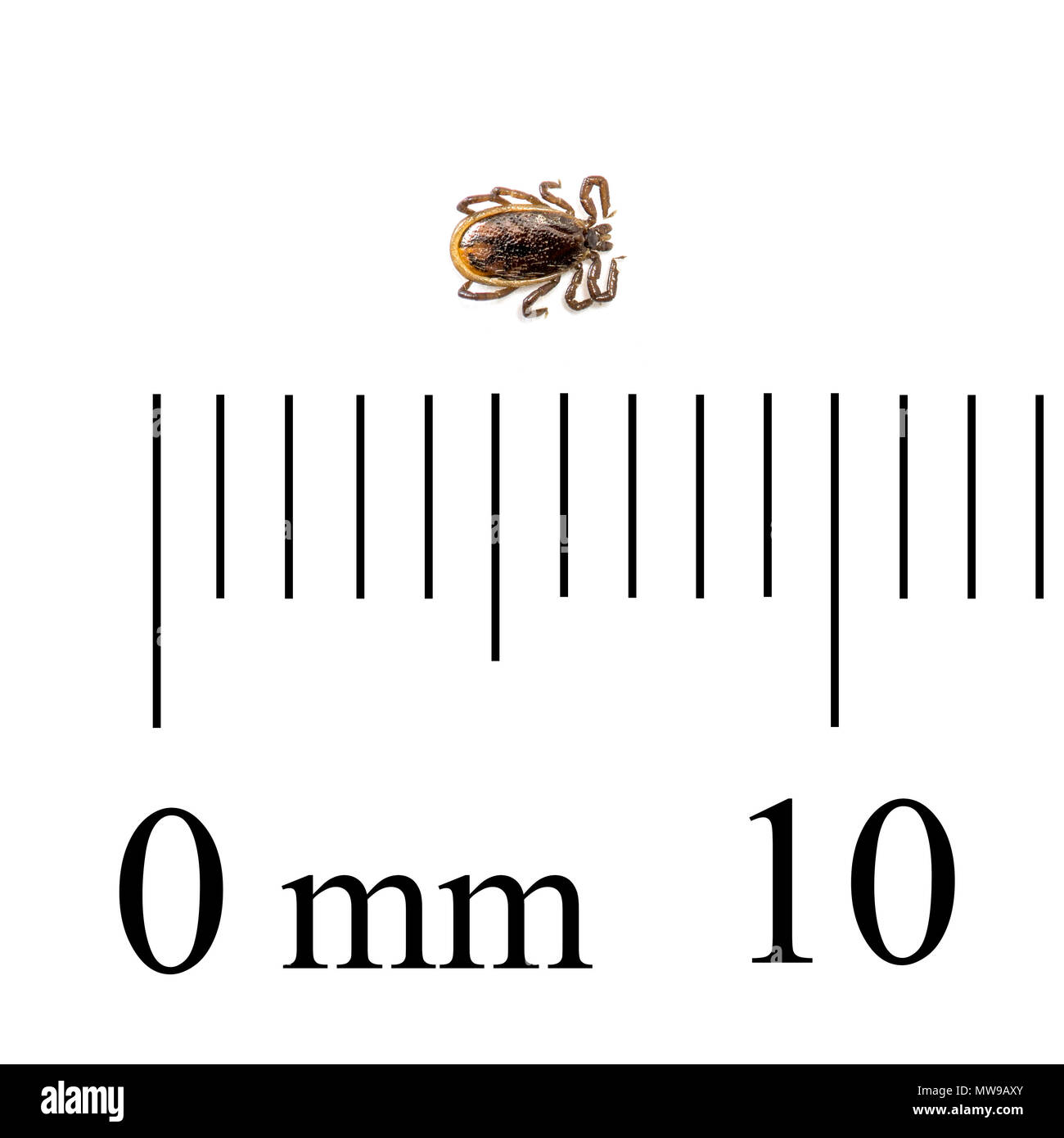 Macro photo with ruler for scale of adult male deer tick or black-legged tick (Ixodes scapularis). - Stock Image