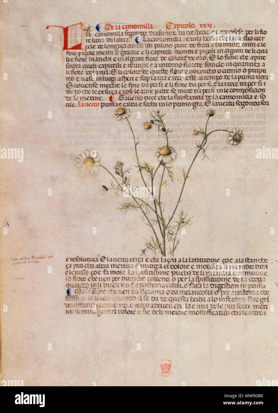 . English: arapion the Younger, Translation of the herbal (The 'Carrara Herbal'), including the Liber agrega, Herbolario volgare; De medicamentis, with index (ff. 263-265) Italy, N. (Padua); between c. 1390 and 1404 . between c. 1390 and 1404. An Italian translation, possibly from a Latin translation, of a treatise orginally written in Arabic by Serapion the Younger (Ibn Sarabi, likely 12th century). 115 Carrara Herbal10 - Stock Image