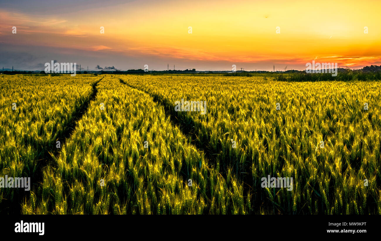 Traces of tractor tires through a wheat field in the twilight days. Traces lead to a factory that can be seen in the distance, and beautiful sunset. Stock Photo