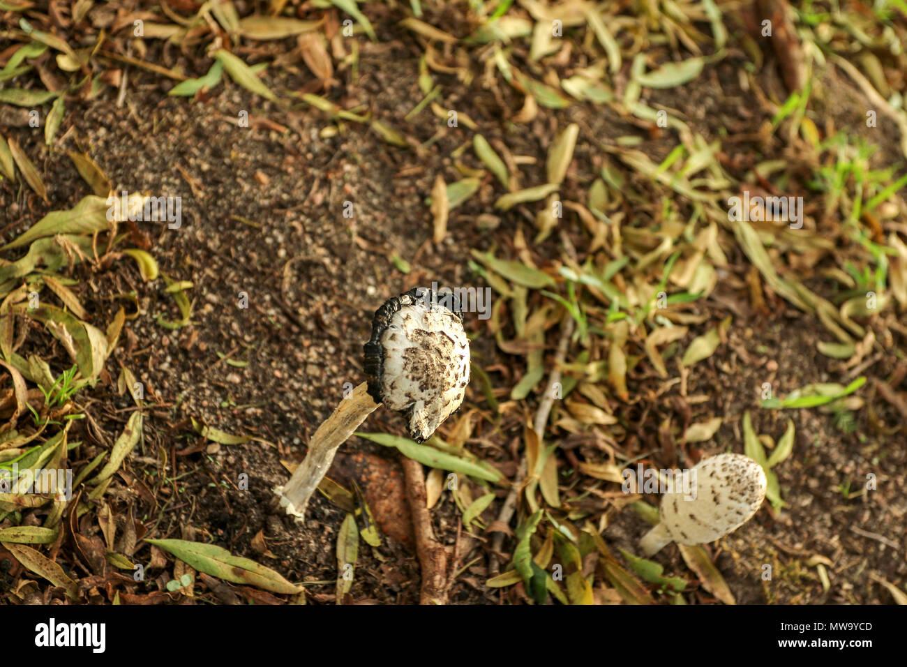 Young shaggy ink-cap fungus in farmland grass, stellenbosch, garden ...