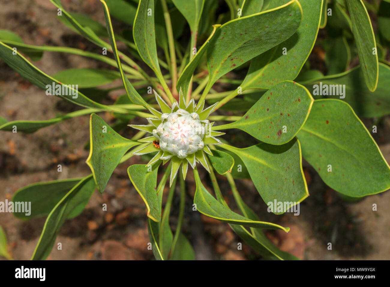 Protea flower buds, stellenbosch, garden route, south africa - Stock Image