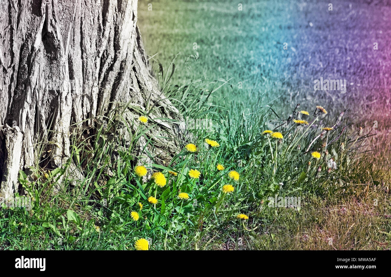 Base of an old tree surrounded by Dandelions in early spring.  Abstract rainbow colors added - Stock Image
