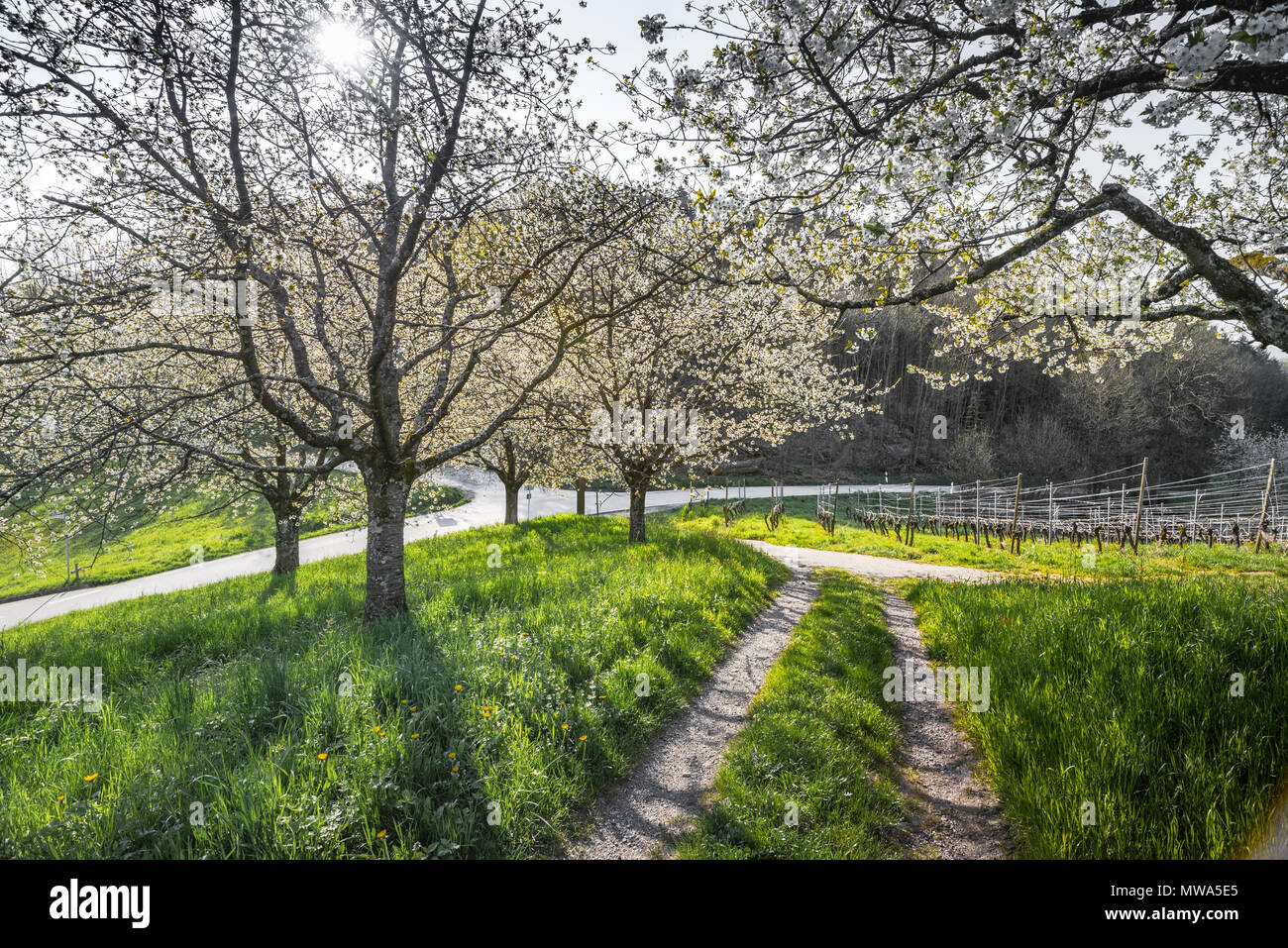 Spring in the foothills of the Black Forest, resort town, Sasbachwalden, Germany, vineyard and blooming fruit trees, Black Forest kirsch trees Stock Photo