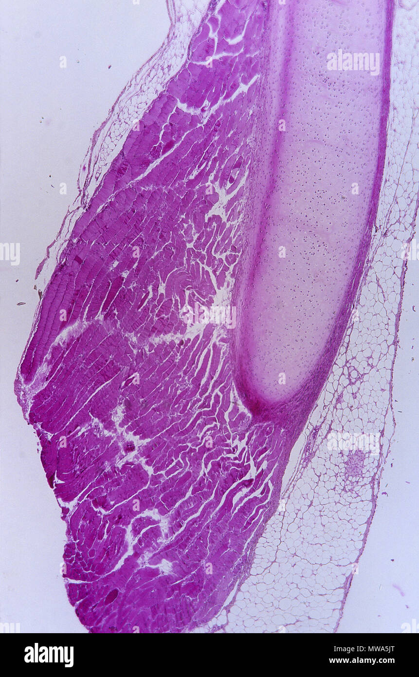 Hyaline cartilage.Cartilaginous tissue.9x - Stock Image